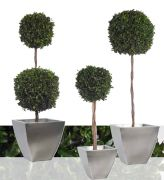 Topiary PITOSPORUM arbol